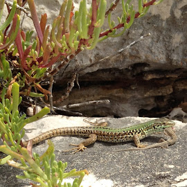 Lizzard by Mario Horvat - Instagram & Mobile iPhone ( nature, lizzard )