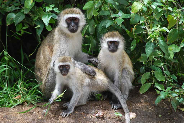 Vervet monkeys in Tanzania. Vervet monkeys cry out to alert fellow monkeys to predators even though it calls attention to themselves. Photo: Africa Dream Safaris