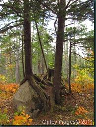 roots on rocks1018 (3)