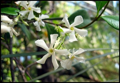 confed jasmine4