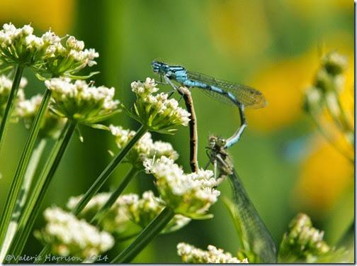 3-mating-damselflies