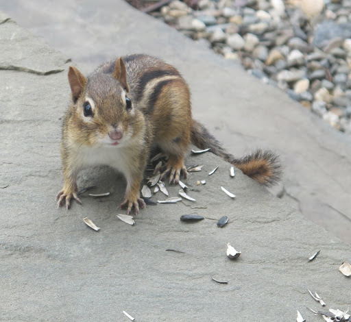 Whoa!  I suppose that now little Chippy knows I'm watching!  Chipmunks are shrewd little creatures and they're faster than squirrels.