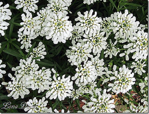 Candytuft_Iberis_White