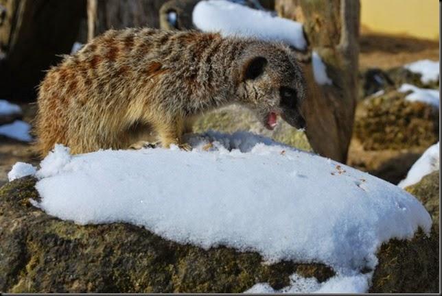 Meerkat burp
