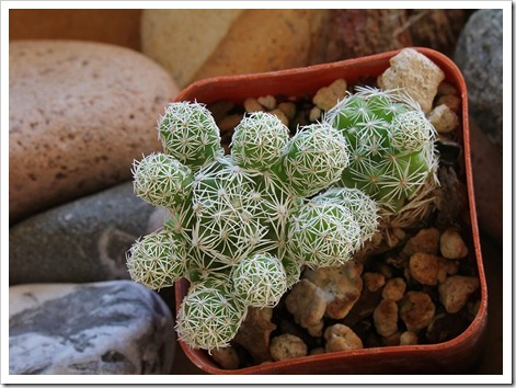 110804_Mammillaria-gracilis_01