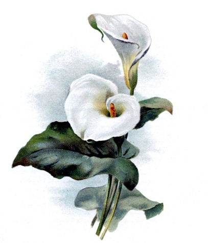 cala lily vintage image graphicsfairy006sm