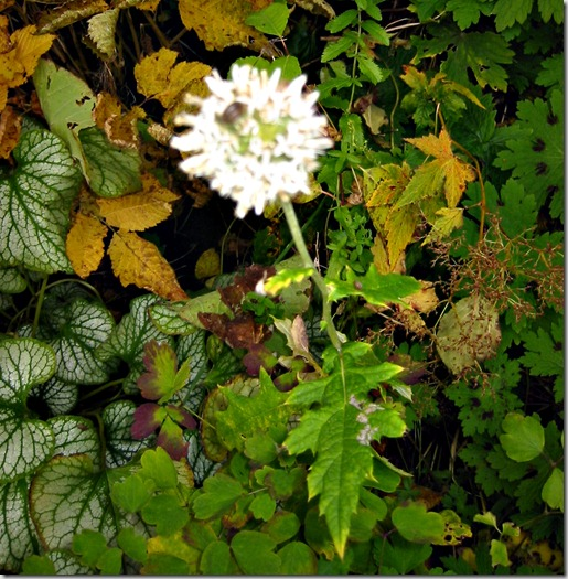 Hvit Allium
