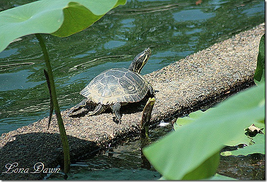 LG_Turtle2