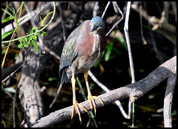 03c - Green Heron