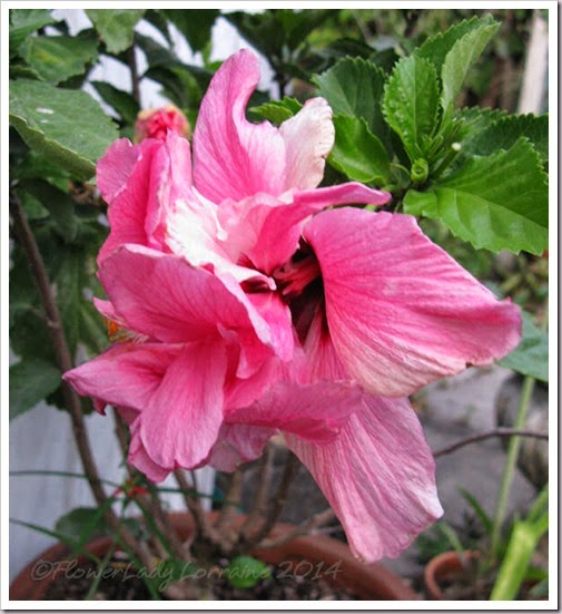 05-14-pink-hib3
