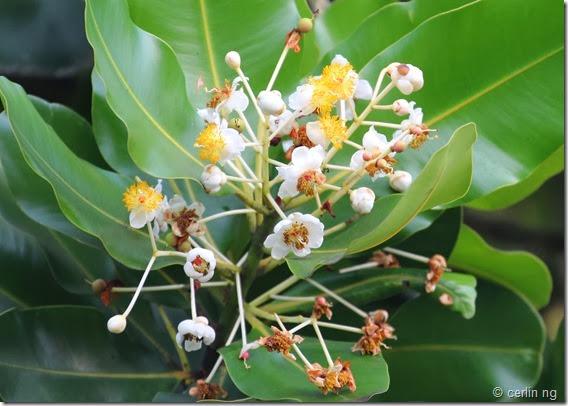 calophyllum inophyllum flower