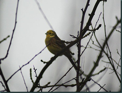 39-yellowhammer