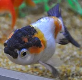 Amazing Pictures of Animals, Photo, Nature, Incredibel, Funny, Zoo, Ranchu, Goldfish, Alex (7)
