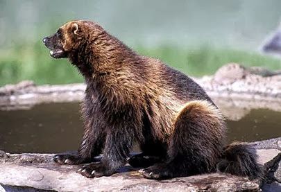Amazing Pictures of Animals, Photo, Nature, Incredibel, Funny, Zoo, Wolverine, Glutton,  skunk bear, Carcajou, Alex (4)
