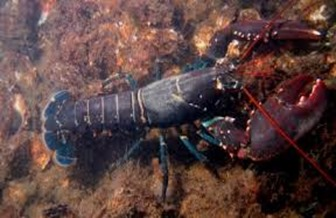 Amazing Pictures of Animals, photo, Nature, exotic, funny, incredibel, Zoo, Homarus gammarus, European lobster or common lobster, Alex (7)