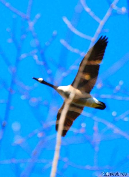 3. Canada goose DSC_0069