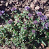 Thymus%252520fedtschenkoi%25252c%252520aragats%25252c%2525202012.08.05%252520%25252804%252529