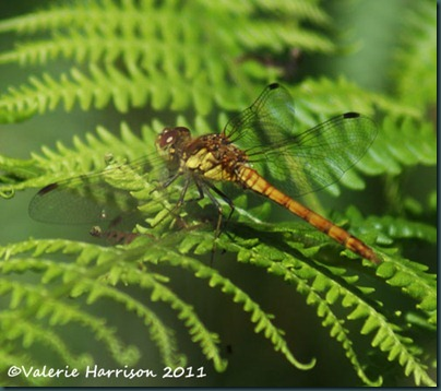 5-common-darter