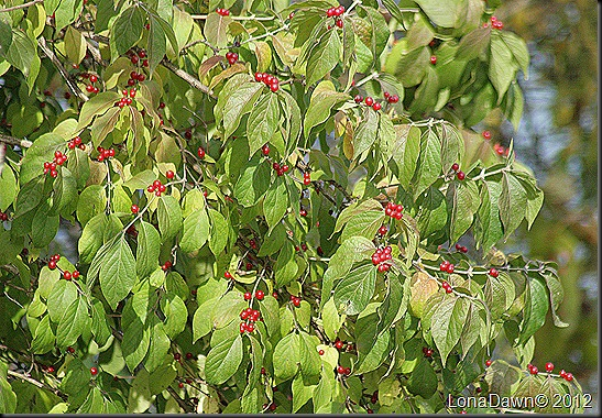 Ross_Lake_Berries
