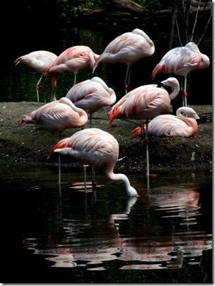bronx-zoo-flamigoes