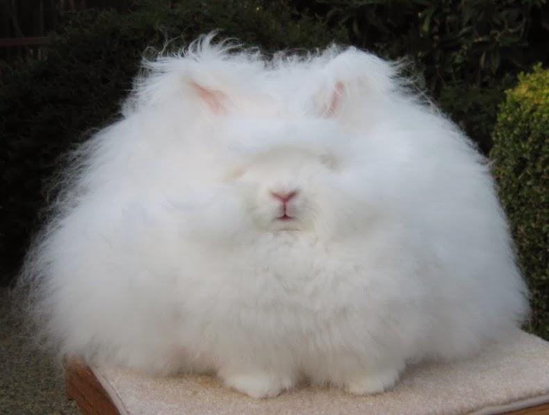 angora-rabbit-7