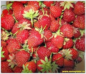 Клубничный урожай www.samapovar.ru