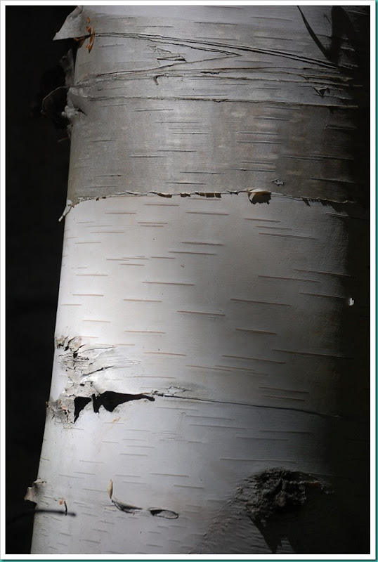 Birch Bark