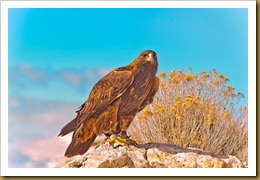 - Golden Eagle_ROT8491 February 19, 2012 NIKON D3S