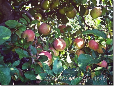 Melrose Apples (Official Apple of Ohio)