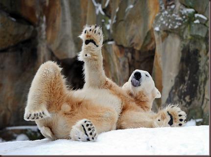 Amazing Animals Pictures Polic Bear (2)