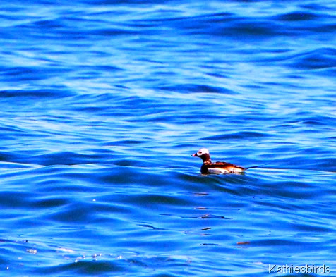 2. long-tailed duck-kab
