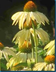 double echinacea 'razamatazz'