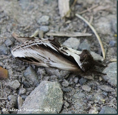 44 lesser-swallow-prominent-1