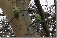 paris 2012 parrots in parc mont sourris 121912 00000