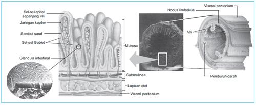 gambar struktur anatomi usus halus
