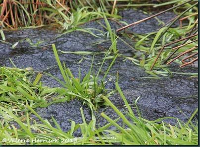 33-frogspawn