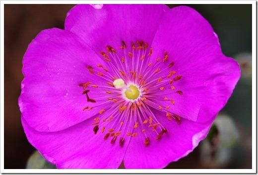 110528_-Cistanthe-grandiflora_103