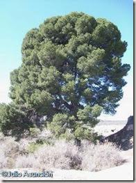 Gran pino - ruta El Chorrillo - Elda-Petrer