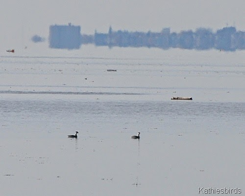 9. 11-13-14 horend grebes in casco bay-kab