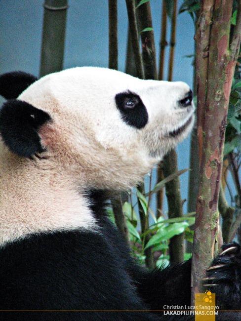 Singapore's Giant Pandas