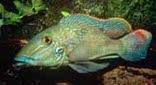 Guyane cichlidé