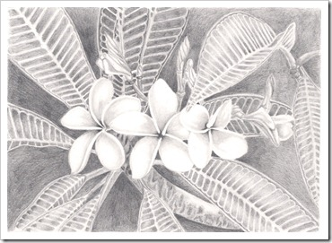 frangipani flower drawing