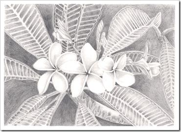 frangipani flower drawing