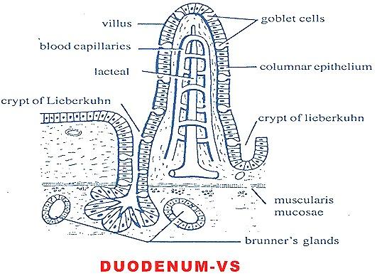 duodenum-vs