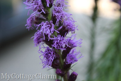 blazing star photo