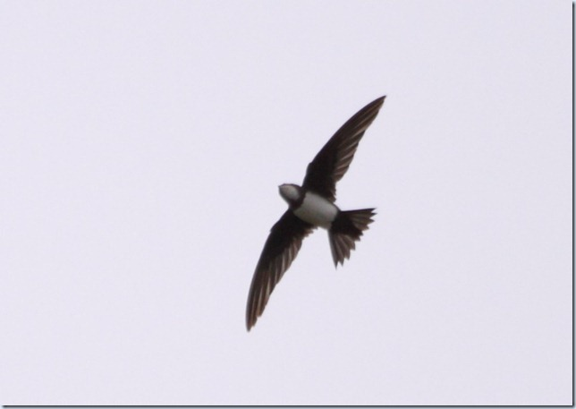 alpine_swift2