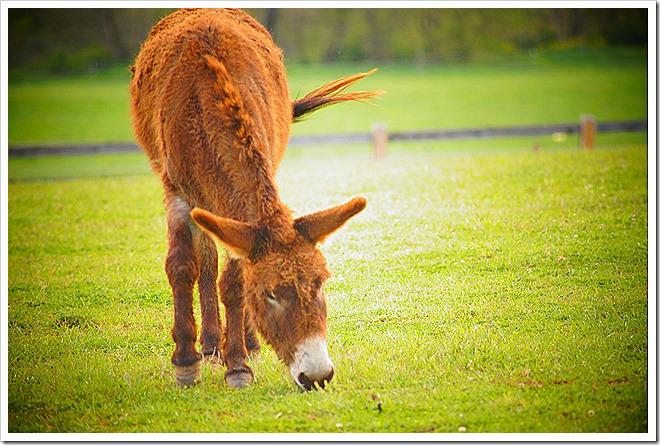 mule-public-domain-picture (11)
