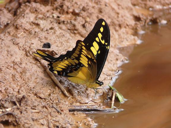 Papilio thoas cinyras MÉNÉTRIÉS, 1857. Caranavi (alt. 600 m). Bolivie, 25 janvier 2008. Photo : J. F. Christensen