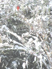 snowstorm 1.20.2012cardinal in back yard tree