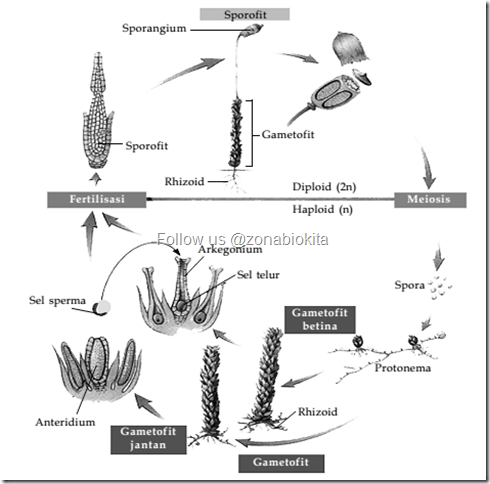 siklus pergiliran keturunan lumut